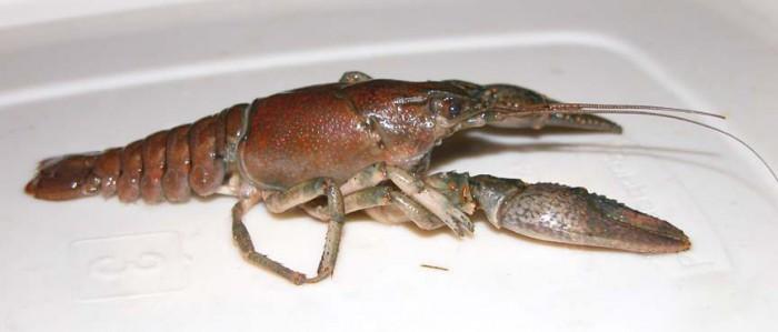 JMS- Crayfish 2005-1